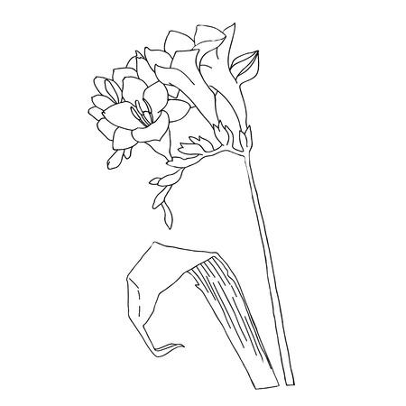 freesia:  Freesia.Sketch black and white.Vector illustration