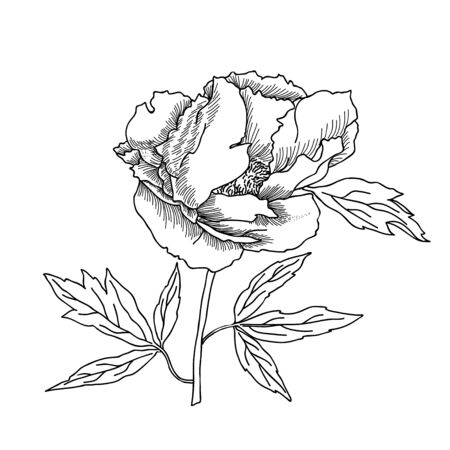 peony black: Peony sketch black and white.Vector illustration Illustration