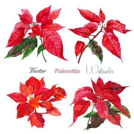 Set of red poinsettia flowers.Vector watercolor