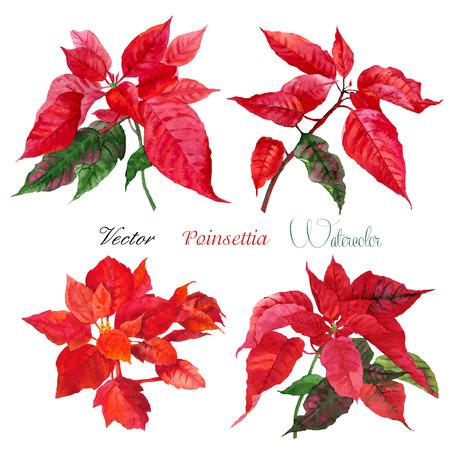 flor de pascua: Conjunto de flor de pascua roja flowers.Vector acuarela