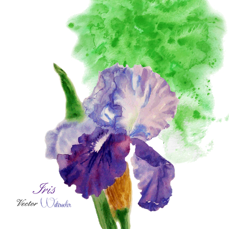 Iris with green watercolor  background. Vector illustration