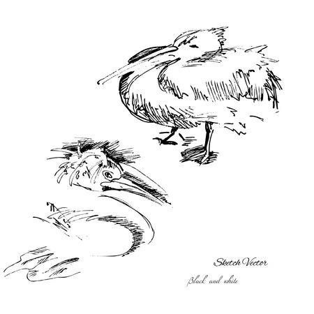 pelican: Pelican sketch.Vector illustration Illustration