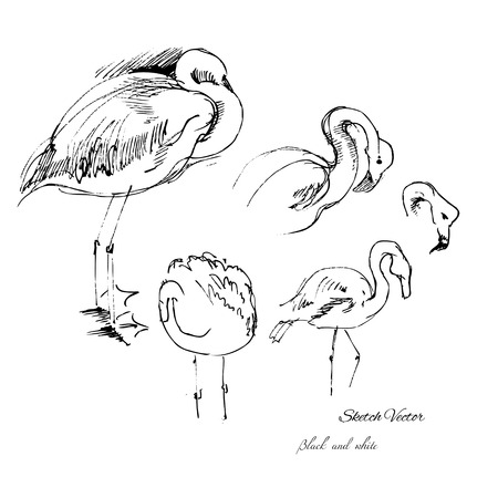 Flamingo bird sketch. Vector fauna illustration Vector