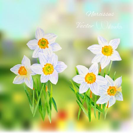 narcissus: Narcissus. Vector watercolor illustration Illustration