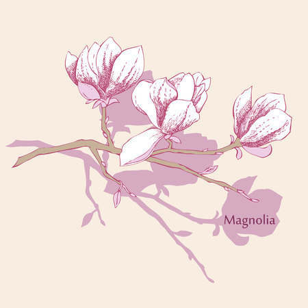 magnolia: Magnolia. Spring flowers. Vector Illustration Illustration