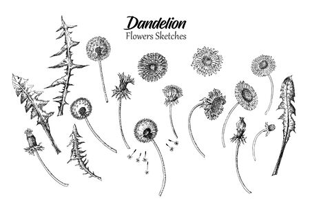 Dandelion Wild Flowers Sketches. Hand Drawn