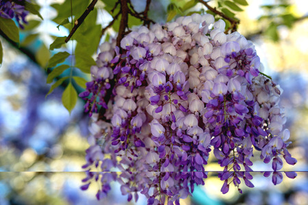 The flowering of wisteria in the month of May is lush and fragrant. Spring concept.