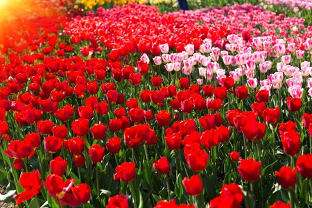 Group red tulips. Beautiful tulip in a flowerbed, spring.