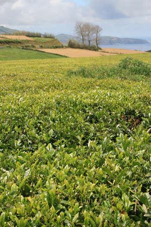 agriculture azores: farm with tea