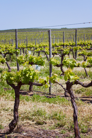 portugal agriculture: field with grape tree in Portugal
