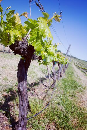 portugal agriculture: view on spring vineyard with blue sky Stock Photo