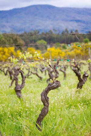 portuguese: portuguese spring vineyard Stock Photo