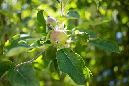 fresh small apple growing on the tree
