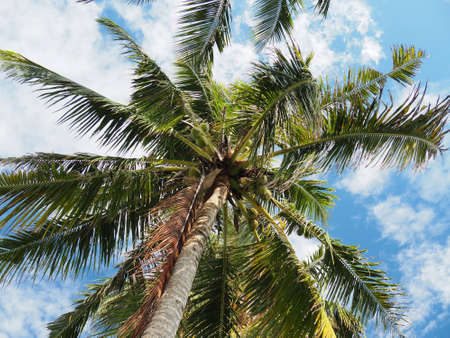 Coconut palmtree at Savaii Island, Samoa. Picture from below palm trunk. Green leafs, coconuts, brown trunk. Blue sky with white clouds. Relax, holidays, paradise island, pacific ocean. Stock fotó