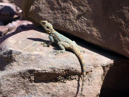 Agama lizard or roughtail rock agama or stellagama is basking on the rock. 版權商用圖片