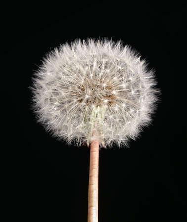 dandelion flower photo
