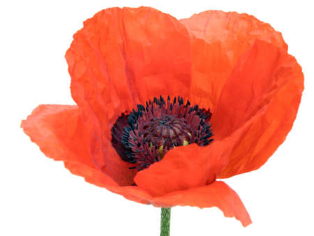 poppy flower: oriental poppy flower isolated on white