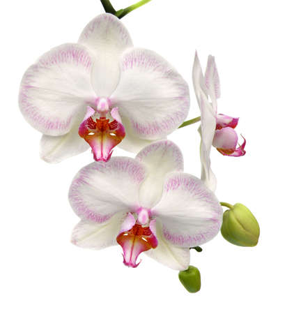 pink orchid: white orchid isolated on white Stock Photo