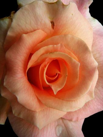Cream rose on the black background