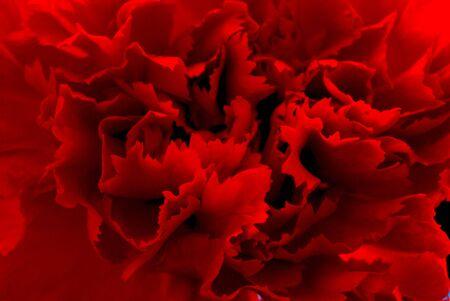 red  carnation: red carnation