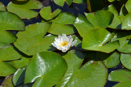 Blomming water lily. Stock Photo