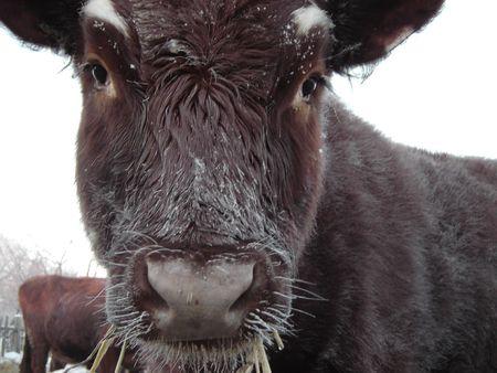 cow Banco de Imagens