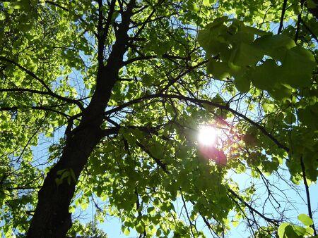 日当たりの良い菩提樹