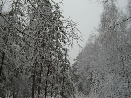 Siberian forest at winter time