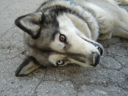 Husky with eyes of different color and dirty nose Imagens
