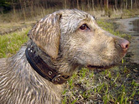 Dirty labrador with sad look