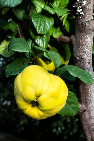 quinces: Ripe big yellow apple quinces hanging on a branch tree in a garden. Healthy organic food concept, still life.