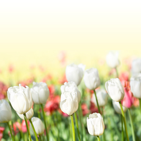 Beautiful spring meadow with tulips. Summer flowers  photo
