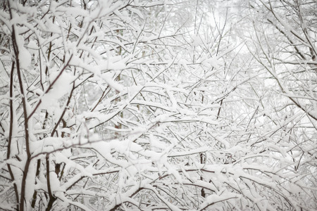 white winter: Christmas background with snowy fir trees landscape.   Fir branches covered with snow against winter forest. Stock Photo