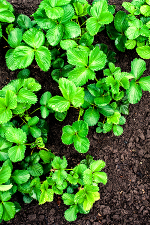 cultivating: The seedling are growing in the soil top view close up