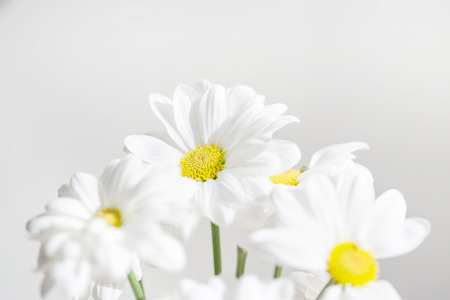 Spring flowers wallpaper white gerbera flower or daisy flower 94348076 bunch of white daisy flowers on bright background close up spring daisy flowers wallpaper mightylinksfo