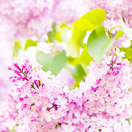 Spring flowers. Branch of lilac flowers with the leaves. Macro photo