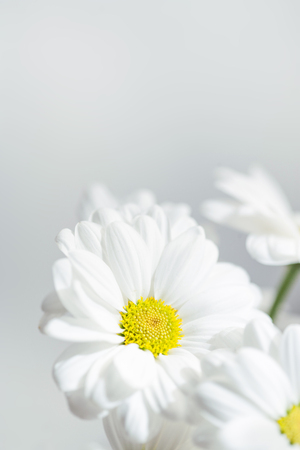 Spring flowers wallpaper white gerbera flower or daisy flower spring flowers wallpaper white gerbera flower or daisy flower on grey background close up stock mightylinksfo