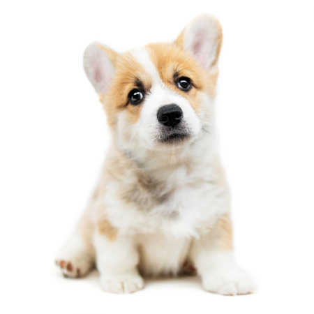 Cute Puppy Welsh Corgi Pembroke  is looking at camera and asking. Beautiful puppy dog isolated on  white background.