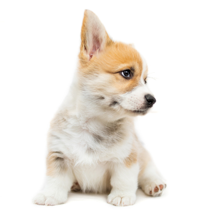 Cute Puppy Corgi Pembroke looking up isolated  on  white background.. Beautiful Small  Welsh  puppy dog