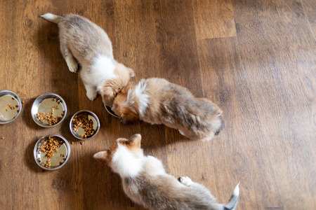 Puppies eating food in the kitchen from bowls. Cute puppy eating dog food on wooden floor, top view Фото со стока