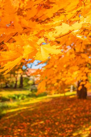 Paisaje otoñal. Árboles de otoño con hojas amarillas y naranjas en el parque. Escena de la hermosa naturaleza. Foto de archivo