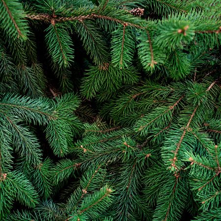 Christmas  Fir tree brunch textured Background. Fluffy pine tree brunch close up. Green spruce Standard-Bild