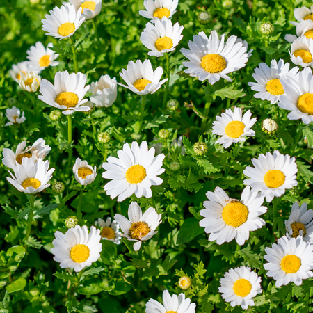 Blossoming spring meadow with chamomile flowers. Beautiful Blooming meadow in sunny day