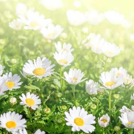 Blossoming spring meadow with chamomile flowers. Stock Photo