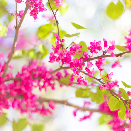 Beautiful cherry blossom tree  in springtime over blurred background. Spring nature banner