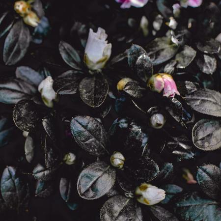 Dark Vintage Flower Background. Pink Azalea flower Wallpaper Banco de Imagens - 123453087
