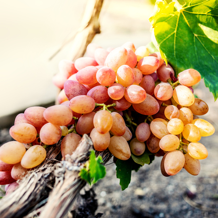 white grapes in a vineyard close up. Ripe green  wine grapes. Autumn harvest