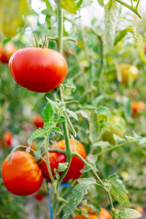 Gardening tomatoes. Ripe tomatoes growing on the branches on a farm Banco de Imagens - 123453156