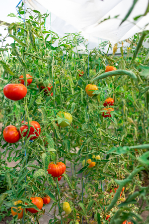 Gardening tomatoes. Ripe tomatoes growing on the branches on a farm Banco de Imagens - 123453159