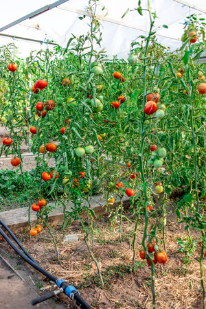 Gardening tomatoes. Ripe tomatoes growing on the branches in a garden Banco de Imagens - 123453158